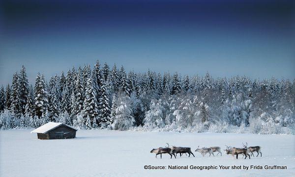reindeer-sweden_28794_600x450 frida gruffman-002